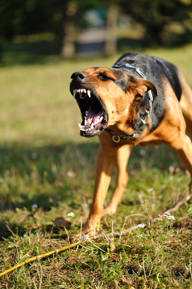 Kampfhund Kaufen